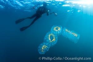 Freediver photographing pelagic gelatinous zooplankton, adrift in the open ocean, Cyclosalpa affinis, San Diego, California