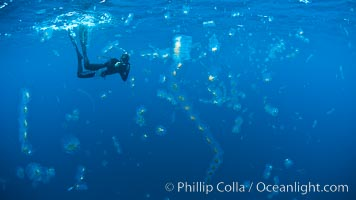 Freediving photographer in a cloud of salps, gelatinous zooplankton that drifts with open ocean currents, San Diego, California