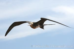 Great frigatebird, juvenile, in flight, rust-color neck identifies species.  North Seymour Island, Fregata minor