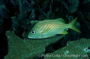 French grunt, Haemulon flavolineatum, Roatan