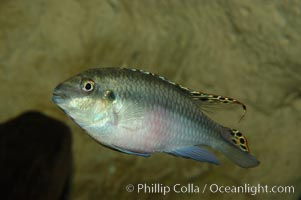 Unidentified freshwater fish