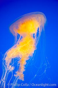 Egg-yolk jellyfish, fried egg jelly, Phacellophora camtschatica