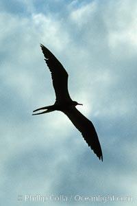 Frigate bird, Fregata