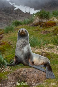 Antarctic fur seal, on grass slopes high above Fortuna Bay, with the cloudy heights of South Georgia Island rising in the background, Arctocephalus gazella