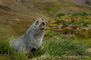 Antarctic fur seal on tussock grass. Fortuna Bay, South Georgia Island, Arctocephalus gazella, natural history stock photograph, photo id 24644