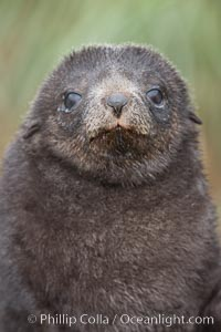 Antarctic fur seal, young pup, juvenile. Fortuna Bay, South Georgia Island, Arctocephalus gazella, natural history stock photograph, photo id 24658