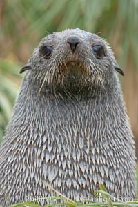 Antarctic fur seal, Arctocephalus gazella, Fortuna Bay