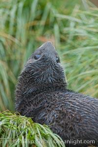 Antarctic fur seal on tussock grass, Arctocephalus gazella, Fortuna Bay