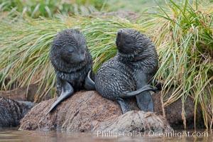 Antarctic fur seal, young pup, juvenile, Arctocephalus gazella, Fortuna Bay