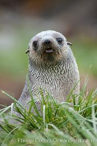 Antarctic fur seal, Arctocephalus gazella, Fortuna Bay