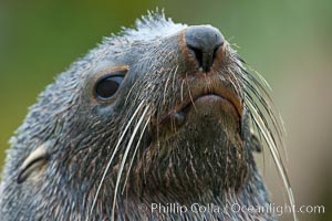 Antarctic fur seal, adult male (bull), showing distinctive pointed snout and long whiskers that are typical of many fur seal species, Arctocephalus gazella, Fortuna Bay