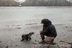 A curious Antarctic fur seal pup on the beach at Godthul, Arctocephalus gazella