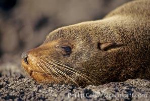 Galapagos fur seal. James Island, Galapagos Islands, Ecuador, Arctocephalus galapagoensis, natural history stock photograph, photo id 01558