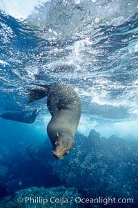 Galapagos fur seal. Darwin Island, Galapagos Islands, Ecuador, Arctocephalus galapagoensis, natural history stock photograph, photo id 01609