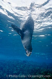Galapagos fur seal, Arctocephalus galapagoensis, North Seymour Island