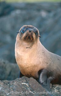 Galapagos fur seal. James Island, Galapagos Islands, Ecuador, Arctocephalus galapagoensis, natural history stock photograph, photo id 02245