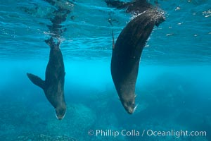 Galapagos fur seals,  Darwin Island, Arctocephalus galapagoensis