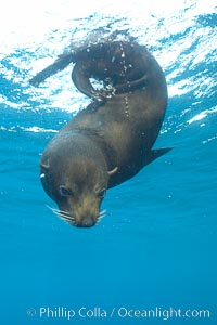 Galapagos fur seal,  Darwin Island, Arctocephalus galapagoensis