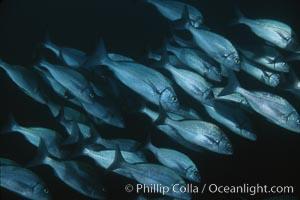 Galapagos grunt. Galapagos Islands, Ecuador, Orthopristis forbesi, natural history stock photograph, photo id 02742