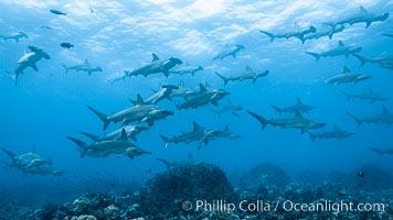 Hammerhead sharks, schooling, Sphyrna lewini, Darwin Island