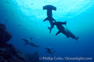 Hammerhead sharks, schooling. Wolf Island, Galapagos Islands, Ecuador, Sphyrna lewini, natural history stock photograph, photo id 16287
