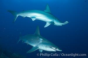 Scalloped hammerhead shark, Sphyrna lewini, Darwin Island
