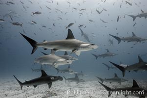 Hammerhead sharks, schooling, black and white / grainy. Darwin Island, Galapagos Islands, Ecuador, Sphyrna lewini, natural history stock photograph, photo id 16289