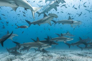 Hammerhead sharks, schooling, black and white / grainy. Darwin Island, Galapagos Islands, Ecuador, Sphyrna lewini, natural history stock photograph, photo id 16290