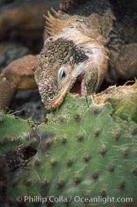 Galapagos land iguana. South Plaza Island, Galapagos Islands, Ecuador, Conolophus subcristatus, natural history stock photograph, photo id 01742