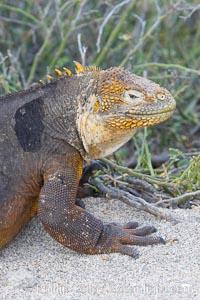 Galapagos land iguana, Conolophus subcristatus, North Seymour Island