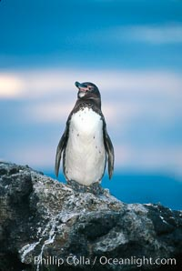 Galapagos penguin at sunset, Spheniscus mendiculus, Bartolome Island