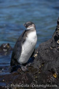 Galapagos penguin, perched on volcanic rocks.  Galapagos penguins are the northernmost species of penguin. Punta Albemarle. Isabella Island, Galapagos Islands, Ecuador, Spheniscus mendiculus, natural history stock photograph, photo id 16521