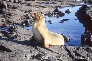 Galapagos sea lion, Zalophus californianus wollebacki, Zalophus californianus wollebaeki, James Island