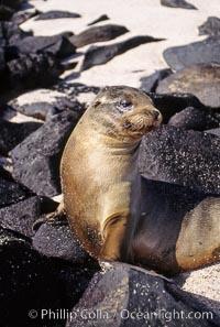 Galapagos sea lion pup, Punta Suarez, Zalophus californianus wollebacki, Zalophus californianus wollebaeki, Hood Island