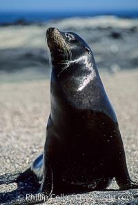 Galapagos sea lion, Punta Espinosa, Zalophus californianus wollebacki, Zalophus californianus wollebaeki, Fernandina Island