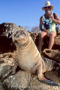 Galapagos sea lion, Zalophus californianus wollebacki, Zalophus californianus wollebaeki, North Seymour Island