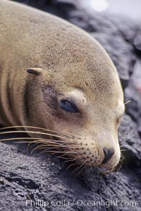 Galapagos sea lion,  South Plaza Island, Zalophus californianus wollebacki, Zalophus californianus wollebaeki
