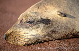 Galapagos sea lion, Zalophus californianus wollebacki, Zalophus californianus wollebaeki, Sombrero Chino