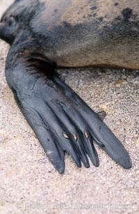 Galapagos sea lion, hind flipper detail, Zalophus californianus wollebacki, Zalophus californianus wollebaeki, Sombrero Chino, copyright Phillip Colla Natural History Photography, www.oceanlight.com, image #02257, all rights reserved worldwide.
