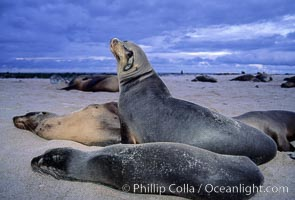 Galapagos sea lion, Zalophus californianus wollebacki, Zalophus californianus wollebaeki, Mosquera Island, copyright Phillip Colla Natural History Photography, www.oceanlight.com, image #02258, all rights reserved worldwide.