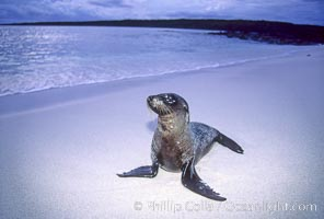 Galapagos sea lion, Zalophus californianus wollebacki, Zalophus californianus wollebaeki, Mosquera Island, copyright Phillip Colla Natural History Photography, www.oceanlight.com, image #02260, all rights reserved worldwide.