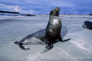 Galapagos sea lion. Mosquera Island, Galapagos Islands, Ecuador, Zalophus californianus wollebacki, Zalophus californianus wollebaeki, natural history stock photograph, photo id 02261