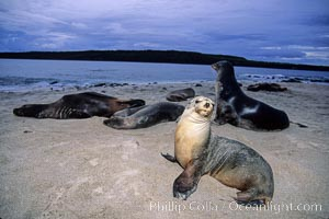Galapagos sea lion. Mosquera Island, Galapagos Islands, Ecuador, Zalophus californianus wollebacki, Zalophus californianus wollebaeki, natural history stock photograph, photo id 02263