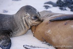 Galapagos sea lion pup nursing. Sombrero Chino, Galapagos Islands, Ecuador, Zalophus californianus wollebacki, Zalophus californianus wollebaeki, natural history stock photograph, photo id 02427