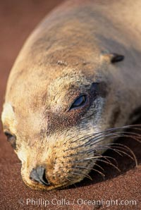 Galapagos sea lion, whiskers and external ear. Jervis Island, Galapagos Islands, Ecuador, Zalophus californianus wollebacki, Zalophus californianus wollebaeki, natural history stock photograph, photo id 03235