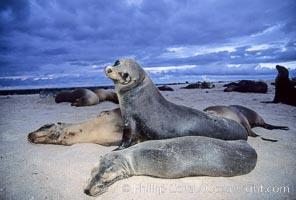 Galapagos sea lions, Zalophus californianus wollebacki, Zalophus californianus wollebaeki, Mosquera Island