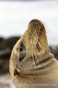 Galapagos sea lion, whiskers, Zalophus californianus wollebacki, Zalophus californianus wollebaeki