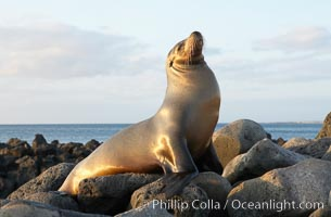 Galapagos sea lion on volcanic rocks, sunset. Isla Lobos, Galapagos Islands, Ecuador, Zalophus californianus wollebacki, Zalophus californianus wollebaeki, natural history stock photograph, photo id 16504