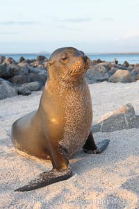 Galapagos sea lion on sandy beach, sunset, Zalophus californianus wollebacki, Zalophus californianus wollebaeki, Isla Lobos