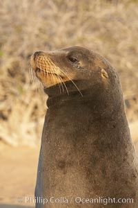 Galapagos sea lion, Zalophus californianus wollebacki, Zalophus californianus wollebaeki, Isla Lobos